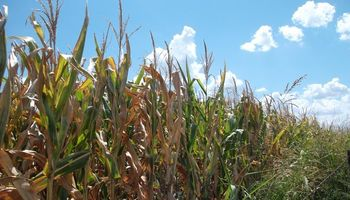 Sexta rueda consecutiva con bajas para el maíz en Chicago
