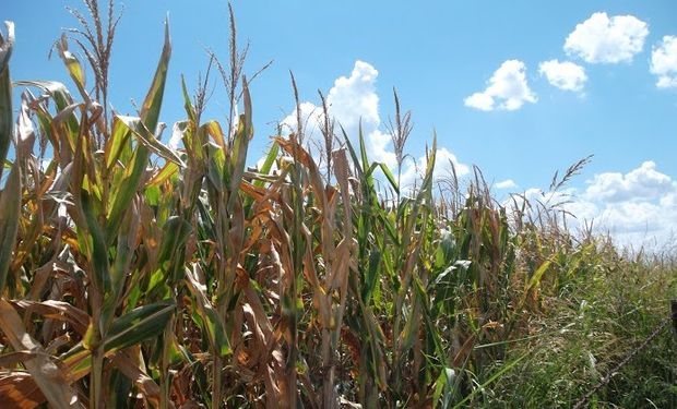 Presión bajista de lleno sobre el maíz.