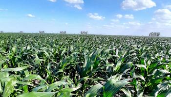 El caso de General Roca: destacan el rol del maíz en los planteos agrícolas