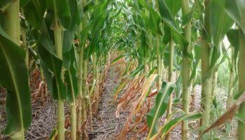El maíz 2015/16 suma 300.000 hectáreas en Córdoba