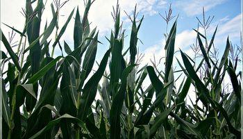 Prevén una fuerte caída del área sembrada con maíz en Córdoba