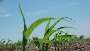 Reducen el área de maíz en EE.UU.
