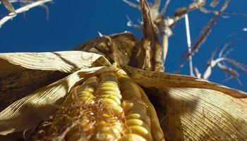 Nuevas subas para el maíz en el mercado local