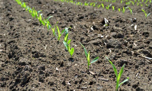 MAÍZ. El mercado descuenta una cosecha de 369 millones de toneladas.