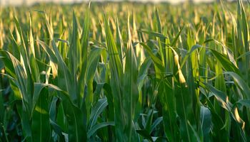 Outlook Forum: avanza el maíz en la nueva campaña de Estados Unidos