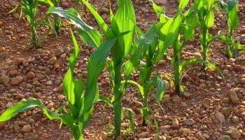 Hasta 250 mil ha. menos de maíz en la zona núcleo