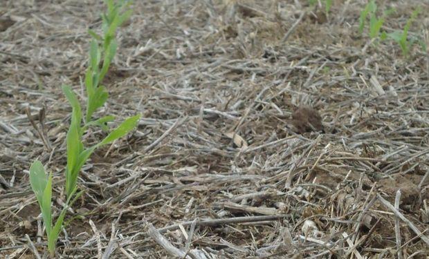 Maíz: intención de siembra cae 10% en Santa Fe