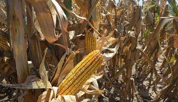 Con menos costos y mejor genética, se desarrollan nuevas líneas de maíz
