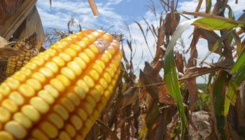 Entre Ríos: la campaña de maíz 18/19 creció un 92% respecto al año anterior