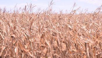 Maizar lanzó la convocatoria del primer remate de maíz de la década