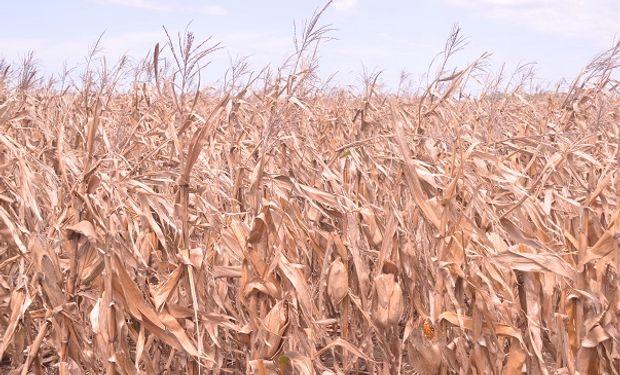 Remate primer lote de maíz.