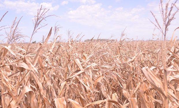 Entre Ríos cosechó los primeros lotes de maíz con un rendimiento de 65 quintales por hectárea