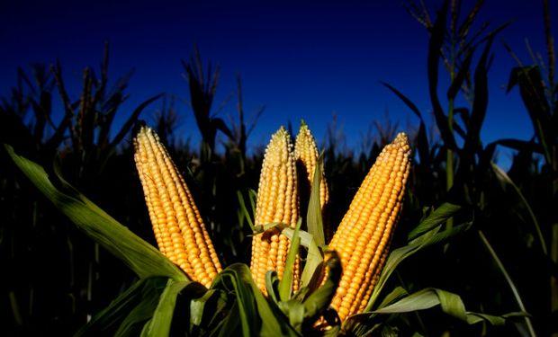 Ventas de maíz al sector exportador aumentaron 12,4%.