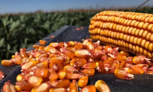 Maíz, fertilización y densidad: la fórmula de manejo ganadora que demostraron tres agrónomos