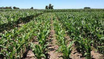 Maíz, soja y trigo: así reaccionarían los rindes a una ley de promoción en el uso de fertilizantes