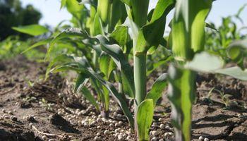 Maíz de alto rendimiento: ensayos revelan un importante repago al aumentar la dosis de fertilizantes