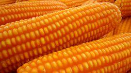 Valor nutricional: grupo de investigadores describió por primera vez cantidad y tipo de carotenoides del maíz flint argentino