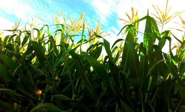 Los precios del maíz exhibieron en los últimos meses un desempeño superior al de la soja.