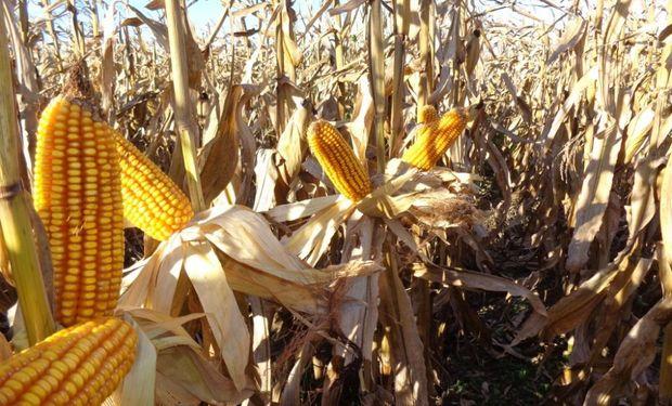 Hoy al maíz no lo para nadie