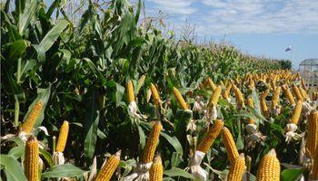 Precio del maíz: distorsión y transferencia millonaria