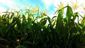 El maíz necesita ganar competitividad