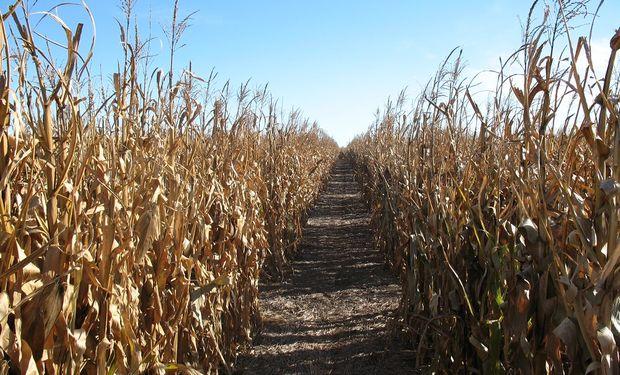 Con una estimación de 50 millones de toneladas, el maíz recupera protagonismo tras una siembra récord