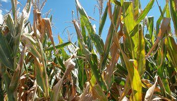 Entre Ríos: el maíz transita las última etapas y el 75% se encuentra en buen estado