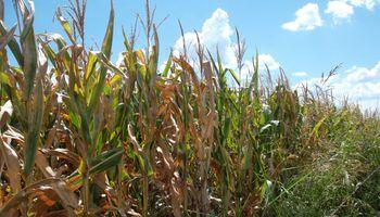 Será récord la cosecha de maíz, según el Gobierno