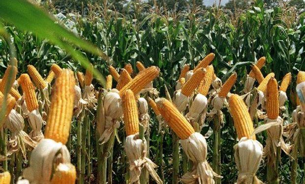 Argentina autorizó exportación de 3 millones de toneladas más de maíz 2012/13
