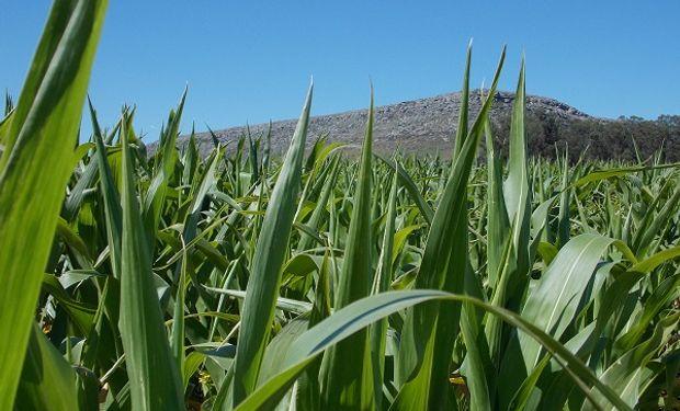 Informe para maíz: para mantener la guardia alta frente a las malezas, manejo integrado, planificación y conocimiento