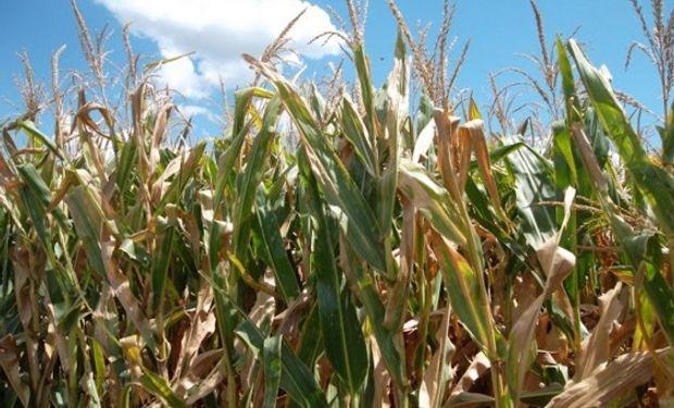 Esta situación motivó a muchos productores a sembrar maíz.