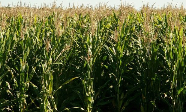 Novedades para los cereales en el mercado local: aparecen nuevas ofertas por el maíz 2020/21