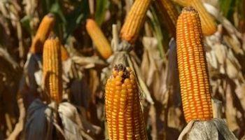 El maíz no logra salir del terreno negativo
