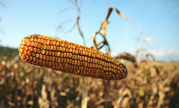 Mientras el trigo y la soja definen tendencia en Chicago, el maíz sube: cuánto se pagó en Rosario