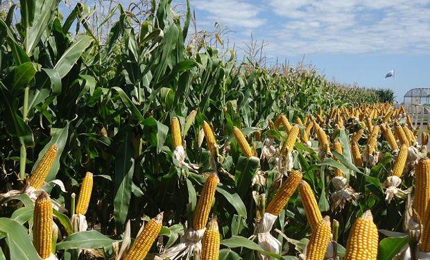 Inversión de la firma Monsanto en maíz.