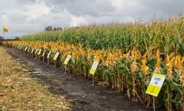 También se analizan las diferentes variables que juegan en la decisión y el peso de la humedad del grano a la cosecha en los resultados económicos del cultivo.