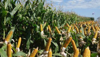Este año, el maíz, más vale temprano