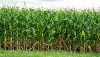 Operadores siguen aumentando apuestas alcistas en maíz