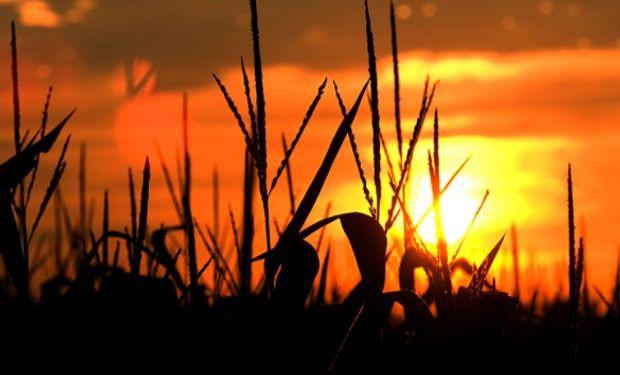 En el inicio de semana retrocede el maíz.