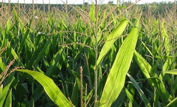 EE.UU. aumentaría producción de maíz para satisfacer la demanda