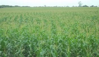 Reducen previsiones de maíz para Argentina y Brasil