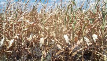 Las altas temperaturas afectaron al maíz de primera
