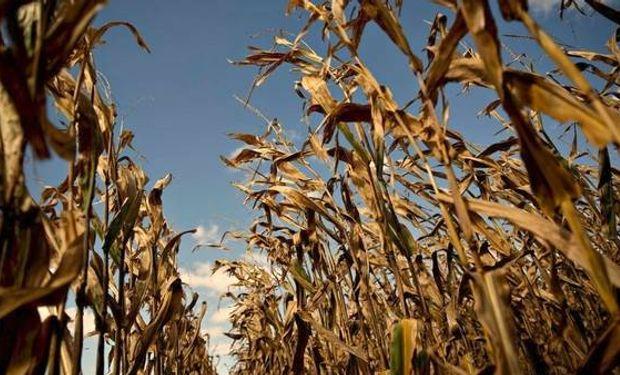 El maíz puede sufrir daños cuando las temperaturas se elevan por encima de los 35° durante varios días. Fuente: Clarín.