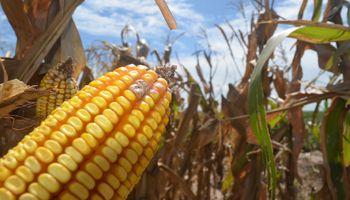 El maíz récord