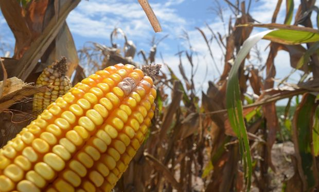 La cosecha de maíz de Argentina del ciclo 2015/16 alcanzaría un récord de 37 millones de toneladas.