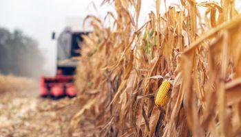 Avanza la cosecha de maíz con lotes que alcanzan los 95 quintales en el centro y norte de Santa Fe