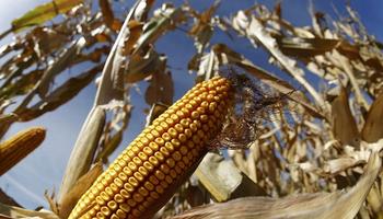 ¿Factor alcista? Cómo avanza la siembra de maíz en Estados Unidos