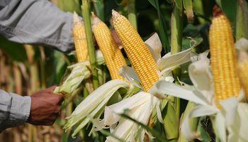 Incluso lejos del puerto, el maíz vuelve a instalarse en los planes de siembra: se sumaron 250.000 hectáreas