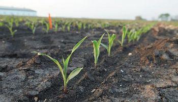 Factor alcista para el maíz: desmejoró la condición de los cuadros sembrados en Estados Unidos