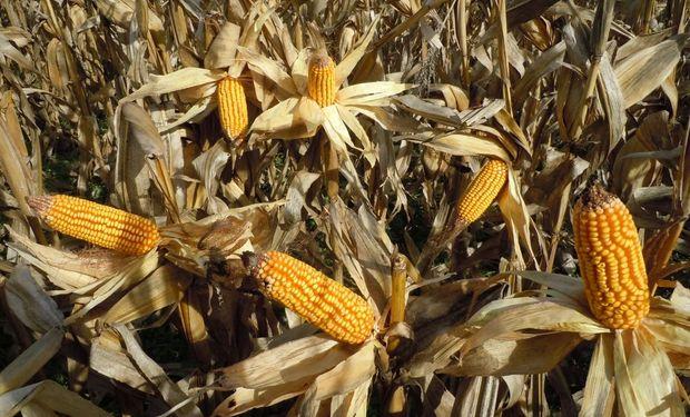 La dispersión de precios para operaciones de maíz disponible con precio hecho fue del 6% para mercadería entregada en las terminales de la zona de influencia de Rosario.